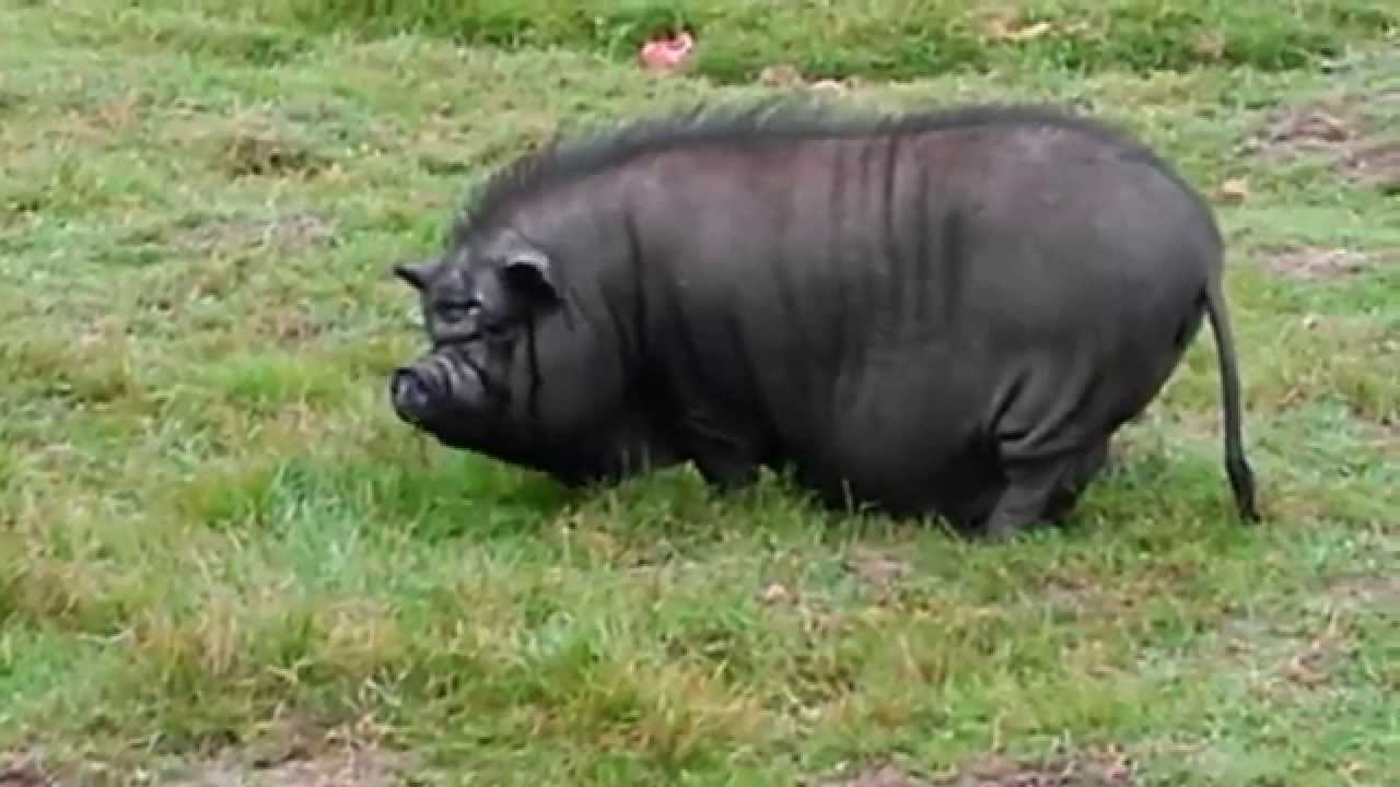 Ugliest Pig In The World The Ugliest, Fattest B...