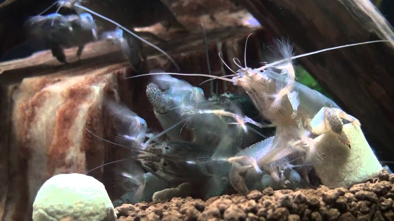 Vampire Shrimp Ultimate Care Guide | PetsHotSpot com