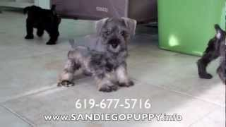 Schnauzer Puppies For Sale In San Diego California!