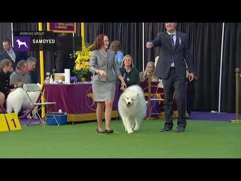 SAMOYED Westminster Kennel Club Dog Show 2019