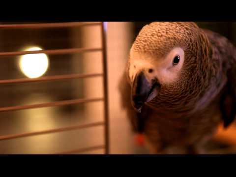 Dutch Parrot (testfootage)
