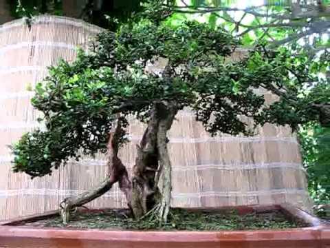 tieu canh sam nui  at-bonsai