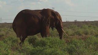 """""""طوق ملاحي"""" لحماية الفيلة في حديقة تسافو الوطنية في كينيا – science    30-3-2016"""