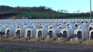 Animal Equality investigators filmed a M&S milk supplier breaking U...