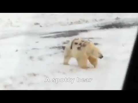Russians spotted a polar bear painted with cryptic graffiti. Scientists are searching for answers.