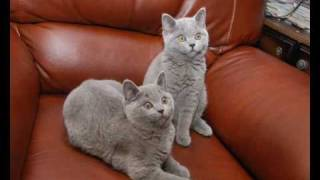 "британские котята из питомника ""Adam best"""