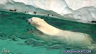 2017-1215 女神の背泳ぎ ホッキョクグマデアのおやつタイム 恩賜上野動物園 ホッキョクグマ デア thumbnail