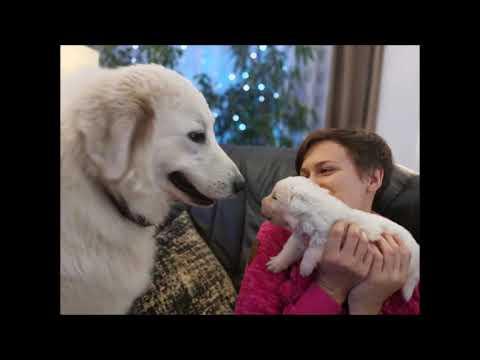 Video 2 týdny na světě. Abruzsko Maremmánský pastevecký pes