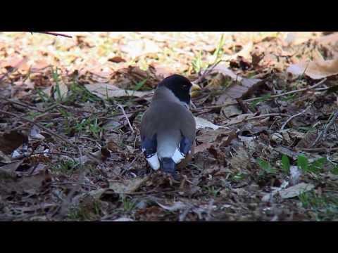 コイカル(1)旅鳥または冬鳥(水元公園ほか) - Yellow-billed