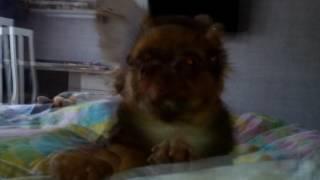 Фото моего щенка Бони мой любимый малыш