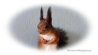 Смотреть клип РњРѕРё певчие... белочки. My choristers squirrels. онлайн