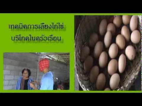 เทคนิคการเลี้ยงไก่ไข่ให้ประสบความสำเร็จ