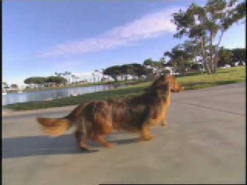 Dog Breed Video: The Dachshund