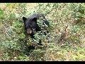 アキーラさん初遭遇!カナダ・バンフ・ヨーホー国立公園!野生の熊!世界遺産カナデ…