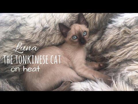 Luna the tonkinese cat on heat!