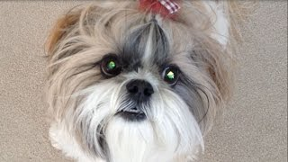Shih Tzu Dog Lacey's Eyes Are Glowing, For Christmas!