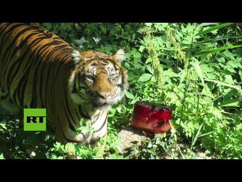 Le sirvieron un helado sangriento a un tigre en un zoo