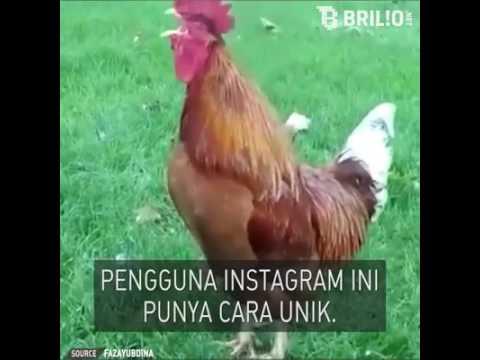 Pemilik akun instagram membuat video ayam menyanyikan lagu armad