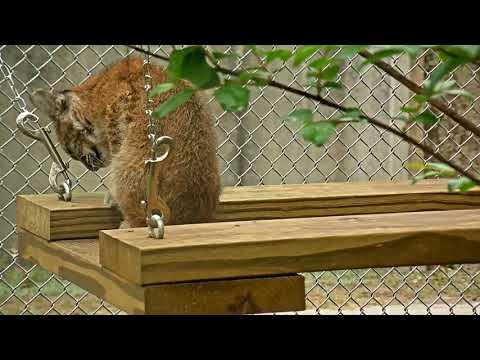 Bobcat Rehab Intensive Care Cam 03-20-2018 11:24:38 - 12:24:39