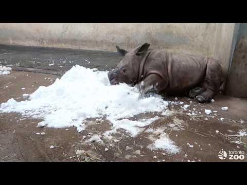 Toronto Zoo White Rhino Calf Meets Snow