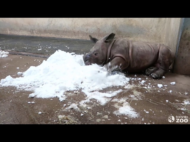 Toronto Zoo White Rhino Calf Meets Snow