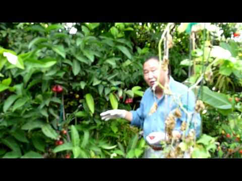 園藝達人 Wax Apple MOV