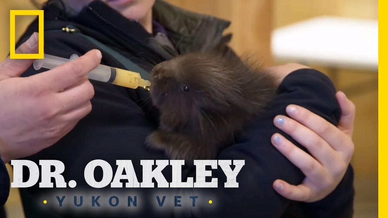 Examining a Baby Porcupine   Dr. Oakley, Yukon Vet