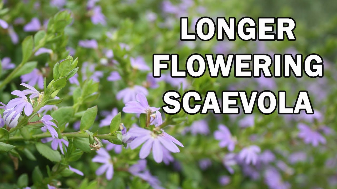 Purple Fusion Is A Landscape Scaevola Groundcover Native Shrubs Ground Covers