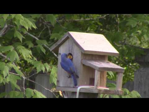 Parent Bluebirds Feed Nestlings and Clean the Nest May 26 2015 at the Evers Abode