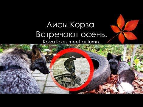 Лисы встречают осень ???????? Silver Fox & Cross Fox ???? Лисы на прогулке ????