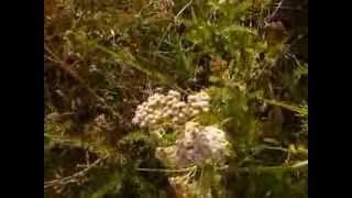 http://www.mathstrength.com -Coada soricelului-Planta medicinala -Farmacia naturii
