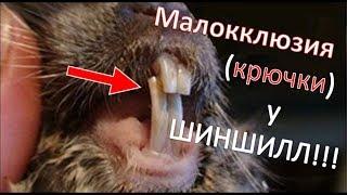 Малокклюзия (Malocclusion) у ШИНШИЛЛ!!! Чем она опасна!!! Как ее лечат! Почему она бывает!