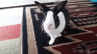 Rabbit running to litter box! Will he make it?