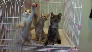 淡路島で保護された子猫たちです。 里親募集中。 やっぱり、ネコジャラ...