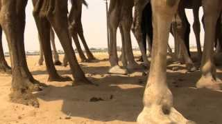 Camel milk farming in UAE