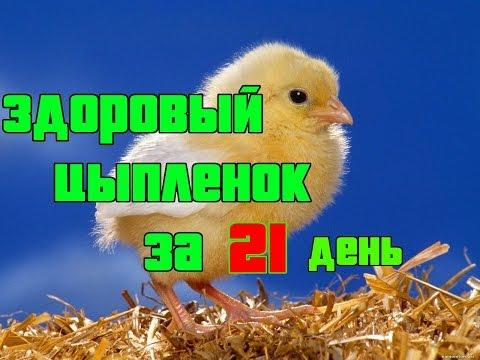 Инкубирование куриных яиц в домашних условиях
