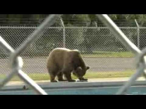 Bear in East Helena pool