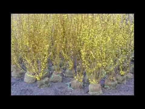 plant forsythia       A durable plant