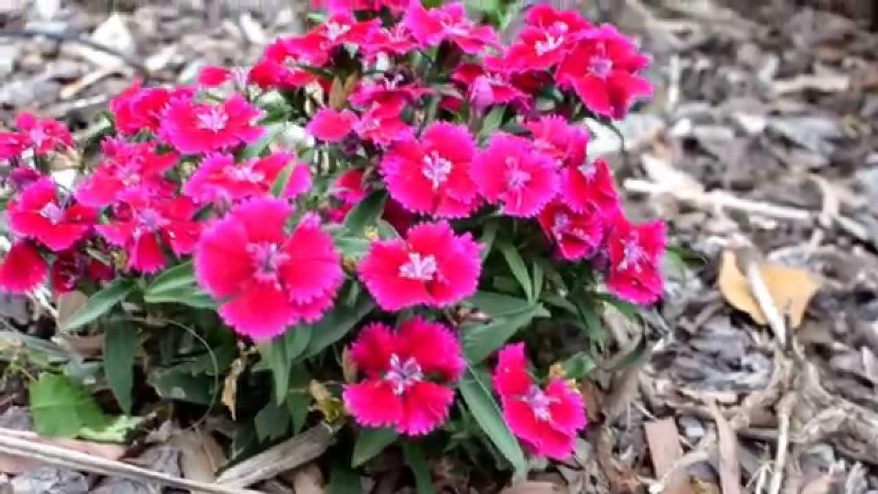 Dianthus Chinensis Flowering At Adelaide Spring Youtube