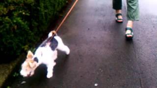 まだ4ヶ月のエポナは散歩が大好き。 あっち行きこっち行きで、落ち着き...