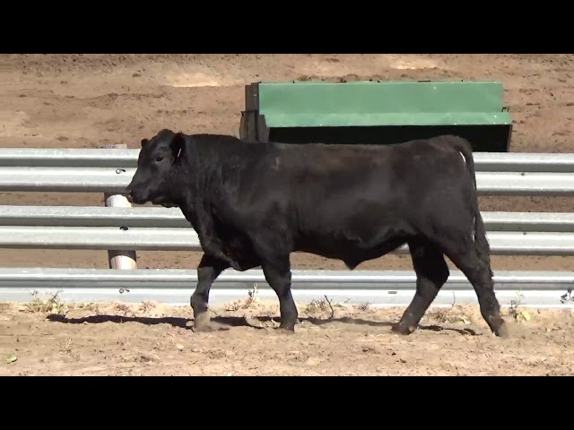 Connealy Angus Lot 43