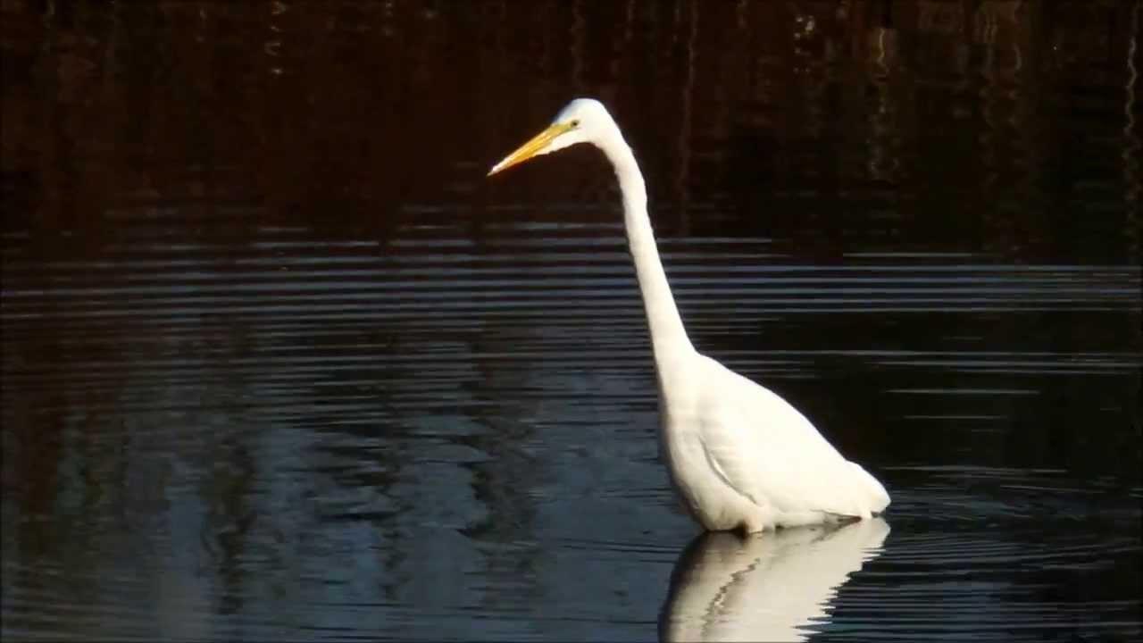 Afbeeldingen van Great White Egret Breeding Season Hacked