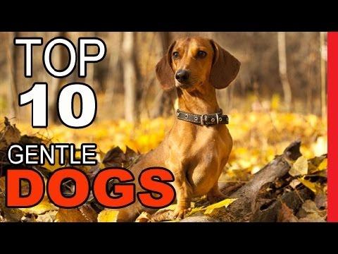 Top 10 Most Gentle Dog Breeds