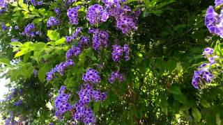 Duranta erecta blue - purple flowers Geisha Girl goldy green - HD 03