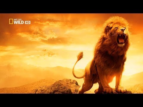 """HD  NEW   """"Lions Documentary""""   AFRICA WILD    a Great Documentary!"""