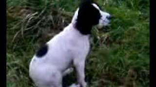 Kala English Springer Spaniel Puppy In Field