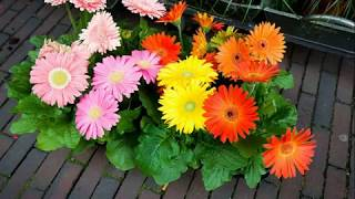 Gambar cover Awesome and Pretty Gerbera Daisy Flowers