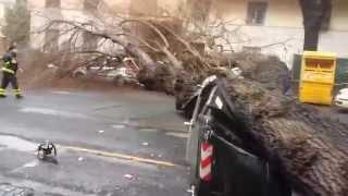 albero crollato a viale Quattro Venti (Roma)