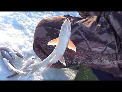зимняя рыбалка на ельца в сибири-видео