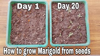 How to grow Marigold from seeds with update, Grow marigold from marigold flowers